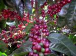 Coffee Cherries at La Horqueta